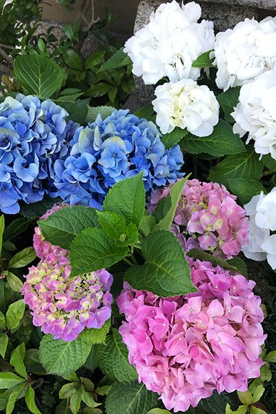 【鎌倉ぶらりパン旅】そろそろ紫陽花のシーズン♪